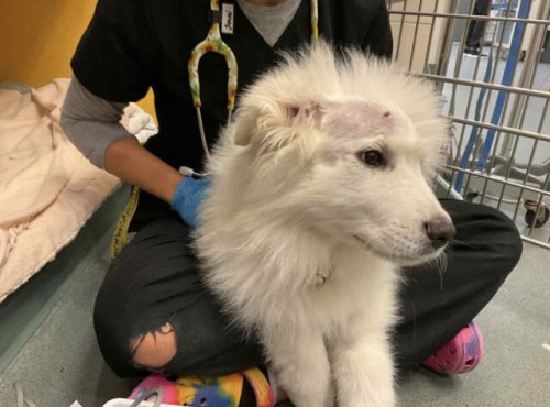 Puppy attacked in Penticton recovering, walking again, after surgery to repair skull and nose (Penticton)
