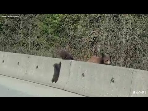 Hitting a wall: Adorable bear cubs climbing in Whistler - BC News