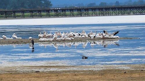 American white pelicans hang around the Okanagan-Shuswap over the summer - Salmon Arm News