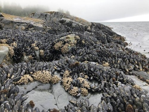 Island's east coast shore animals hit hard in heat wave, water cover was shield for west coast - BC News