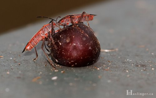 Vernon area photographer captures image of two red bugs, but does not know what they are