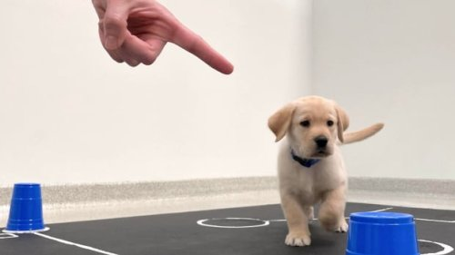 New study shows puppies are born able to understand and communicate with humans   CBC Radio
