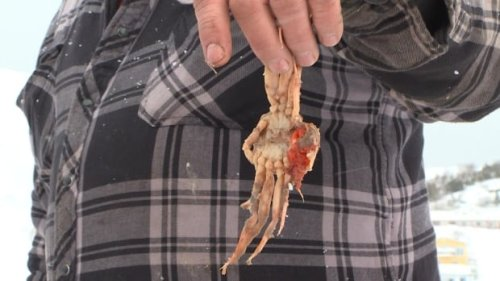 A crab dinner fit for a seal: What to make of what winds up in seal stomachs   CBC News