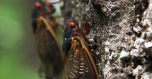 Trillions of cicadas are about to emerge after 17 years underground