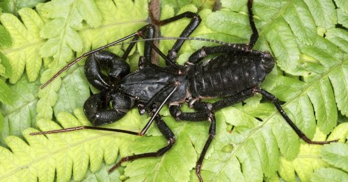 Acid-spraying, scorpion-like insects spotted in Texas