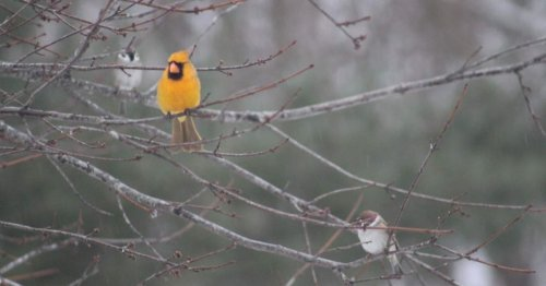 A rare yellow cardinal has been spotted in Illinois — and there's a less than one-in-a-million chance to see one, expert says