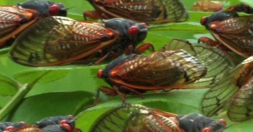 The return of the cicadas