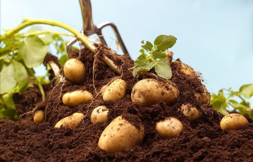 You Can Grow Your Own Potatoes Even If You Don't Have a Garden