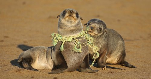A decade of plastic has entangled, choked and drowned over 1,500 endangered marine mammals in U.S. waters, new report finds
