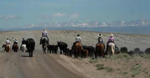 Like a cowboy's therapy: The Green River Drift's 70-mile cattle drive