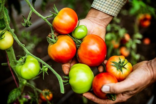 5 Tomato Plant Care Tips to Maximize Your Harvest