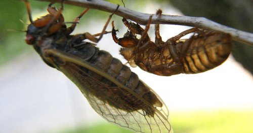 What is Brood X, the U.S. cicada infestation in 2021?