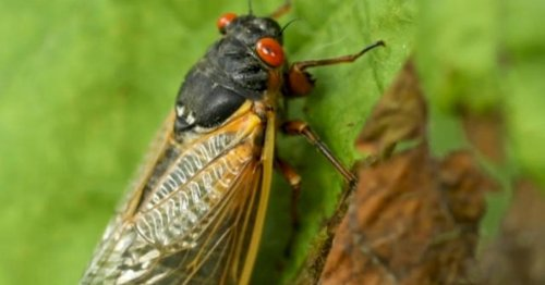 Video: Trillions of cicadas as loud as lawnmowers emerge in 15 states