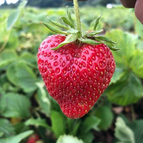 These 5 Farms Near Seattle Are Great For Berry Picking | iHeartRadio