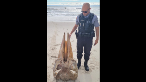 'What killed an animal that size?' Mysterious giant skull washes ashore on NJ beach