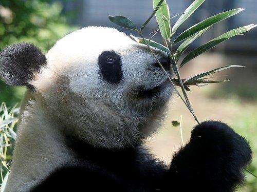 Japon : Naissance de pandas jumeaux au zoo d'Ueno à Tokyo