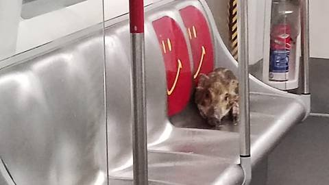 All a boar-d! Wild pig goes on train ride in Hong Kong