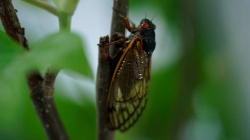 As billions of Brood X cicadas emerge, how long do they live? And what do they eat?