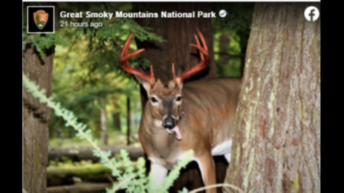 Deer with blood dripping from antlers seen in Smoky Mountains. Why is this happening?