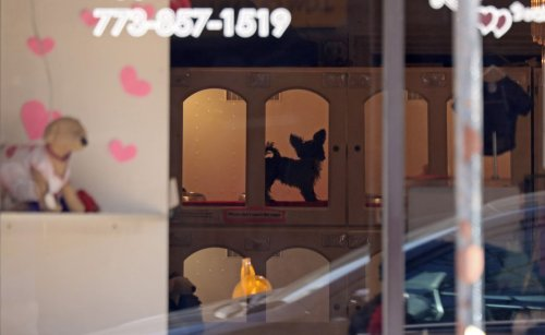 Puppy mill loophole closed: Chicago pet stores banned from passing off purebred, designer dogs as rescues