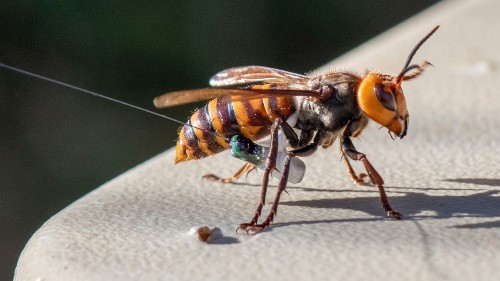 Washington state discovers first nest of 'murder hornets' in the United States