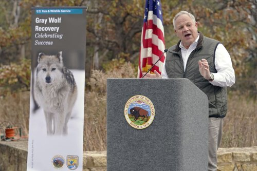 Trump administration ends Endangered Species Act protections for gray wolves in Great Lakes and other regions