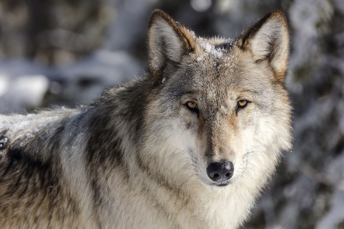 Commentary: Gray wolf population in peril unless Biden restores 'endangered species' protections