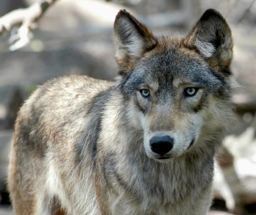 Editorial: 'The hunt unleashed a frenzy of killing with most hunters using dogs and some using snowmobiles.' A wolf slaughter in Wisconsin is reason to restore protective status