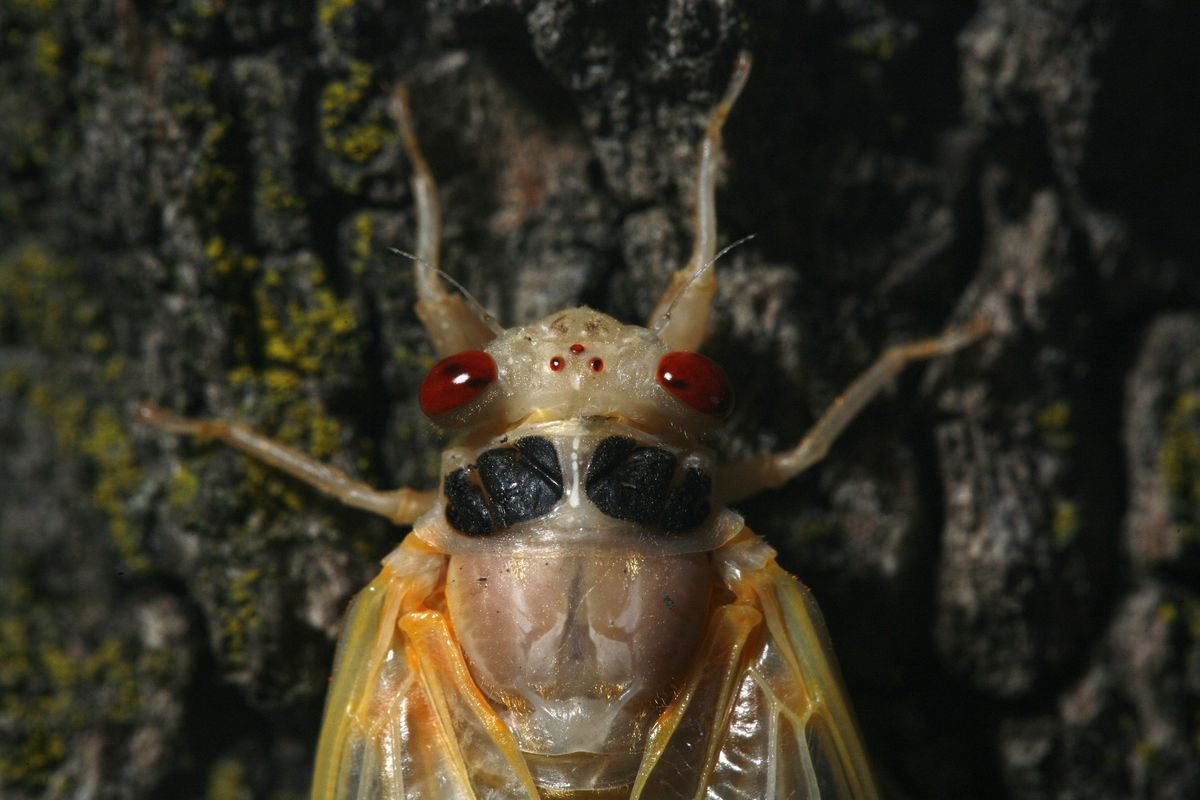 Illinois is 'kind of the place to be with periodical cicadas,' researchers say as 17-year brood's coming out party expected in one corner of the state
