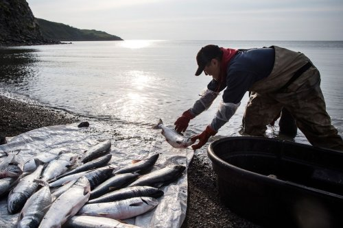 Salmon size is shrinking, and climate change is likely to blame. 'It's only going to get worse.'