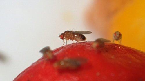 Mit einem simplen Trick: So werden Sie Fruchtfliegen schnell wieder los
