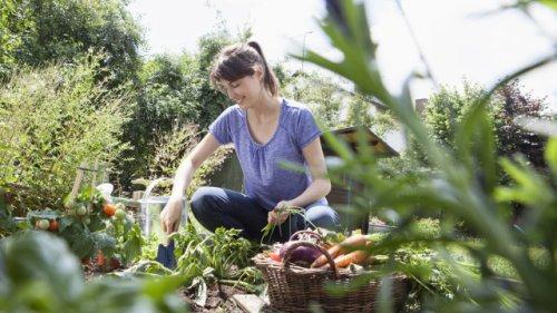 Gemüse-Ernte: Wie Sie Ihren Garten jetzt schon richtig für den Winter vorbereiten