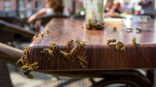 Viele machen gefährliche Fehler: Was wirklich gegen Wespen hilft