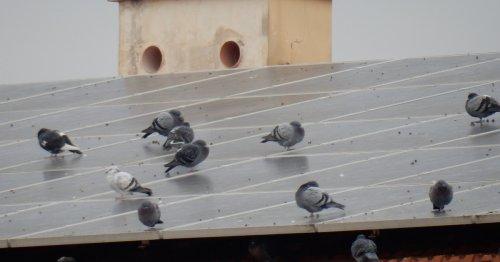 Tauben verschmutzen seine Solaranlage: Bastler findet einfach Lösung dagegen