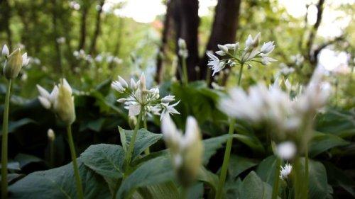 Wenn der Rasen im Garten nicht wächst: Diese grünen Alternativen kennt kaum jemand