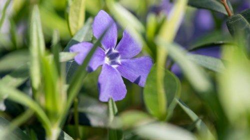 Turbo-Pflanzen für den Garten: Diese Arten wachsen besonders schnell