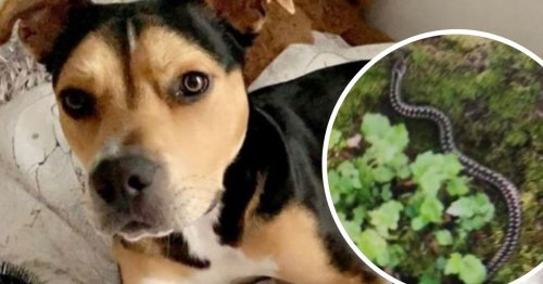 Enzo the dog nearly dies after being bitten by venomous snake on walk