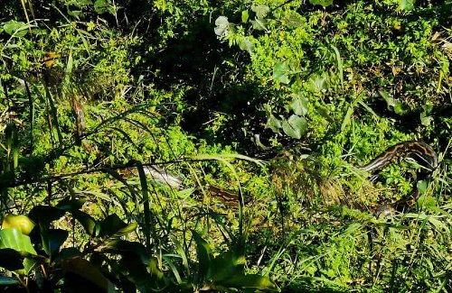 'She knew we were there' – Evans on 3.5m python sighting