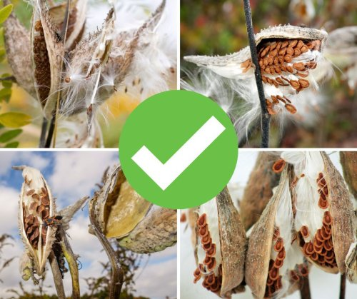 Collect milkweed seed pods to support monarch butterflies