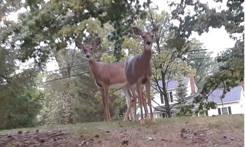 Shaker's new deer culling program includes limited 'border encroachment' into Beachwood
