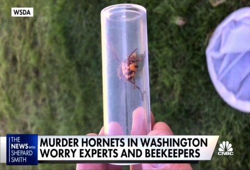 Murder hornets in Washington worry experts and beekeepers