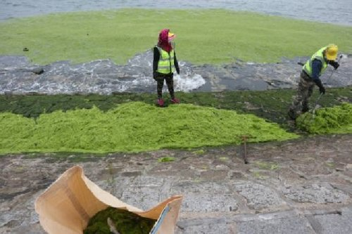 Explained: All you need to know about China's green algae problem