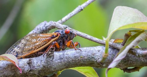 Billions of cicadas to emerge in US for first time in 17 years: What to know