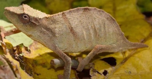 One of the world's rarest chameleons, feared extinct, is found alive