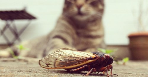 So your dog ate a cicada: What to know about Brood X and pet safety