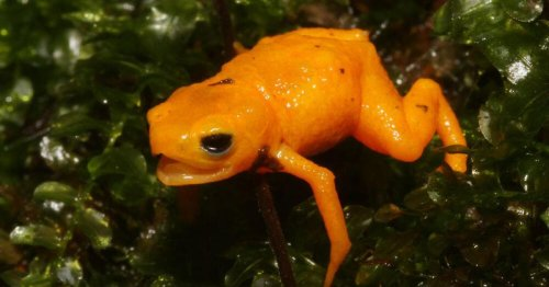 Meet the pumpkin toadlet, a new species of poisonous frog with a curious secret