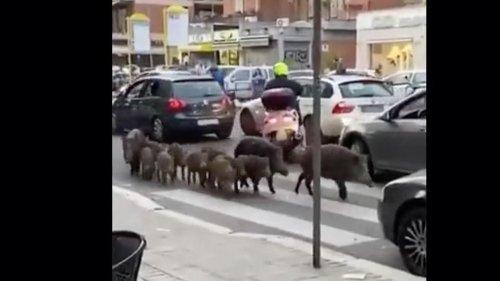 Italie : les sangliers continuent d'envahir Rome (vidéo)