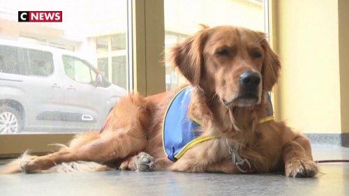 Coronavirus : des chiens détecteurs de cas positifs