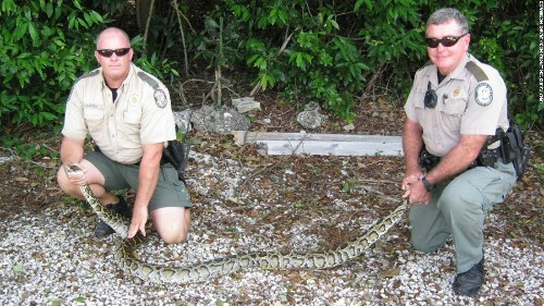 Snakes alive! Florida removes (gulp) 5,000 pythons from the Everglades