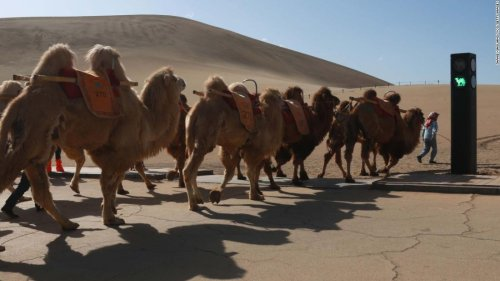 Stop! Camel time! China creates world's first traffic signal for the humped beasts